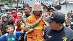 Petugas Jebol Rumah Warga Surabaya untuk Tangkap Ular Sanca 3,5 Meter