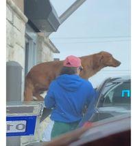 Lompat Ke Jendela Drive Thru, Anjing Ini Tak Sabar Nyeruput Minumannya
