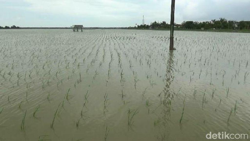 Sawah Terendam Banjir di Subang Terancam Rugi