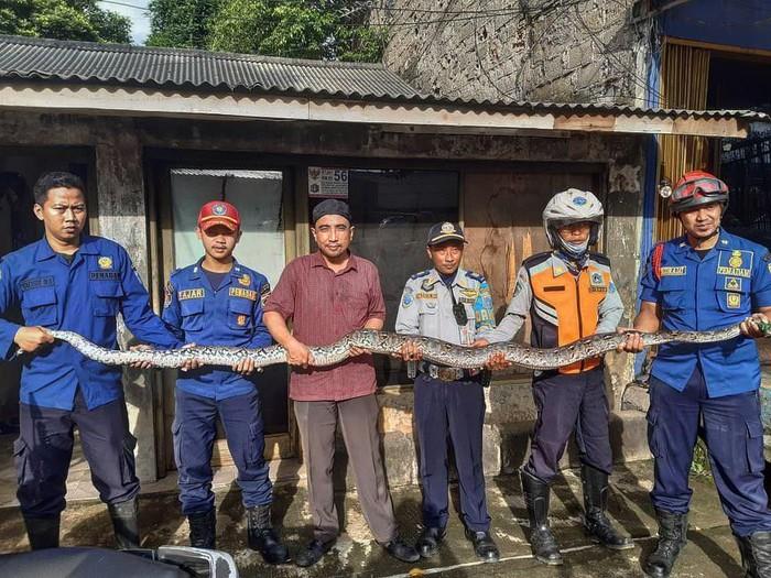 Ular sanca 4 meter dievakuasi di rumah warga di Jagakarsa, Jaksel.