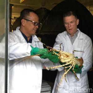 Revisi Aturan Lobster Susi di Tangan Jokowi
