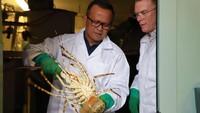 Edhy Prabowo Sebut Lobster Tidak akan Punah Meski Sering Diambil
