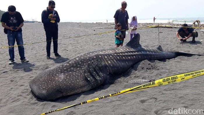 Seekor hiu paus ditemukan terdampar di muara Sungai Bogowonto di pesisir pantai Congot, Kulon Progo. Saat ditemukan ikan itu dalam kondisi sudah mati.