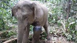 Lagi-lagi, Gajah Liar di Aceh Kena Jerat di Kaki