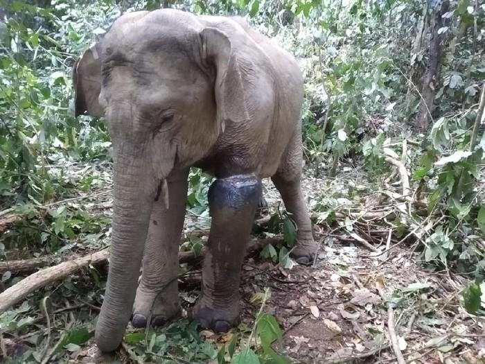 Gajah liar jantan terkena jerat di kaki (dok. BKSDA Aceh)
