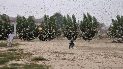 China Akan Kirim Pasukan Bebek Lawan Hama Belalang di Pakistan