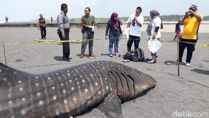 Hiu paus ditemukan mati terdampar di Kulon Progo, Jumat (28/2/2020).