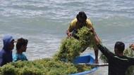 Akhirnya! Petani Rumput Laut RI Menang Gugatan Tumpahan Minyak Montara