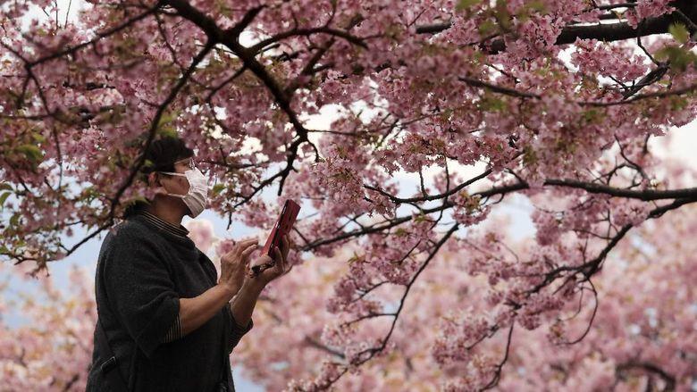 Keindahan festival bunga sakura di Jepang seakan memudar imbas virus corona yang merebak.