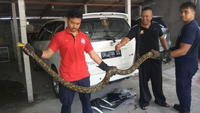 Piton besar yang sembunyi di NMAX warga di Bali (Dok. Istimewa)