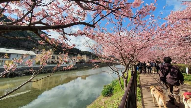Sakura di Izu, Jepang
