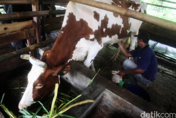 Pekerja memerah susu sapi di salah satu peternakan Sapi Perah Mang Oki di Desa Cipanas, Kecamatan Tanjungkerta, Kabupaten Sumedang, Jawa Barat, Selasa (3/3/2020). Pemerahan susu sapi dari industri rumahan tersebut dapat memproduksi susu sapi perah kurang lebih 50-60 liter per harinya  dengan harga jual Rp10.000 per liternya.