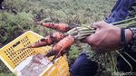 Keren, Produk Pertanian Kerjasama RI-Jepang Masuk Pasar Modern