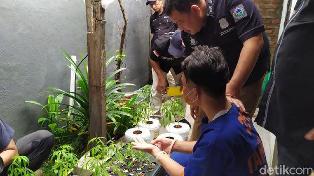 Polisi Gerebek Rumah Pria Penanam Ganja Hidroponik di Surabaya