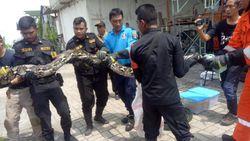 Tak Mampu Beri Makan Lagi, Warga Surabaya Serahkan 3 Sanca Peliharaannya