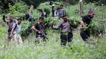 TNI-Polri Musnahkan Lima Hektare Ladang Ganja di Aceh