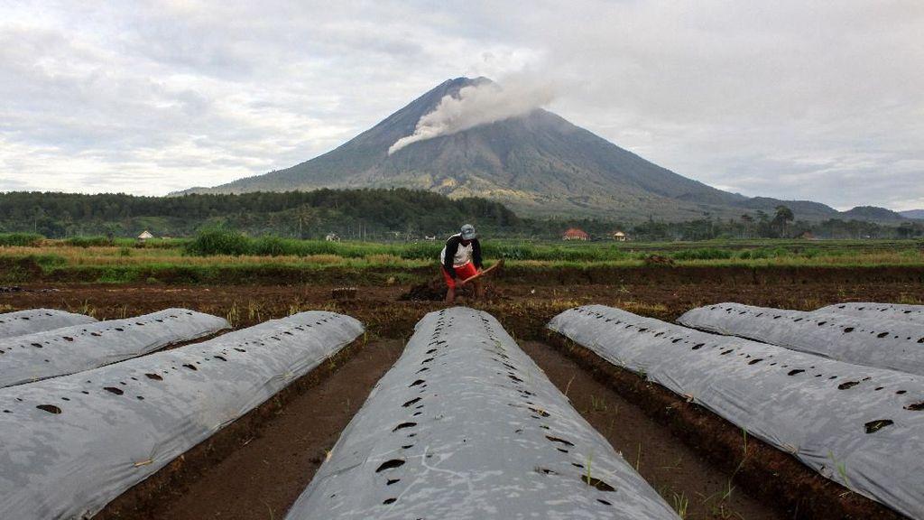 Gunung Semeru Batuk, Petani Tetap Meladang