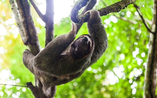 Hewan mamalia kungkang yang bisa ditemukan di Amerika Tengah dan Selatan ini punya jam tidur mencapai 20 jam lho. (Getty Images)