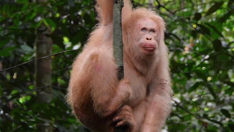 orangutan albino