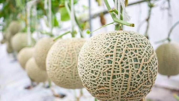 Melon Yubari King