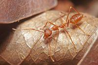 Bukan Sayur, Petani Thailand Panen Telur Semut Untuk Dimakan