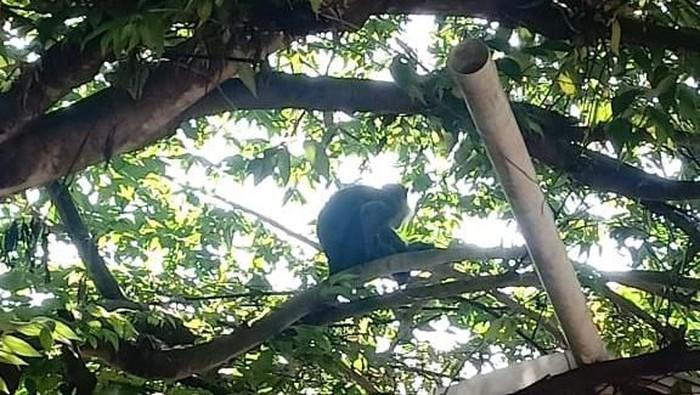 Monyet liar serang perumahan di Depok