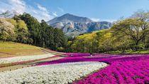 Ini Bunga Shibazakura, Si Cantik dari Jepang