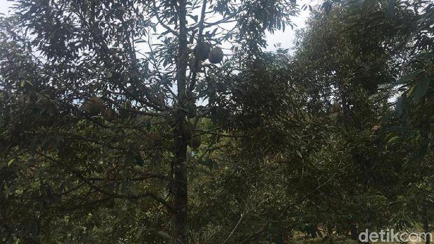 Sensasi Makan Durian Langsung di Bawah Pohonnya