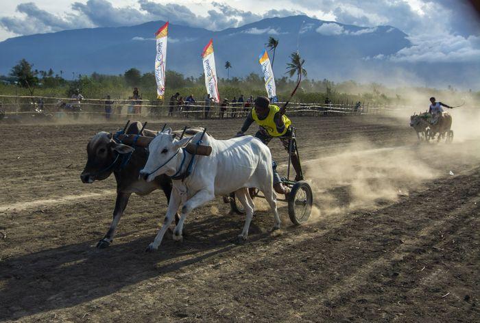Lomba sapi gerobak tradisional berlangsung di kawasan Sigi, Sulawesi Tengah, akhir pekan lalu. Lomba ini digelar untuk melestarikan nilai-nilai budaya setempat.