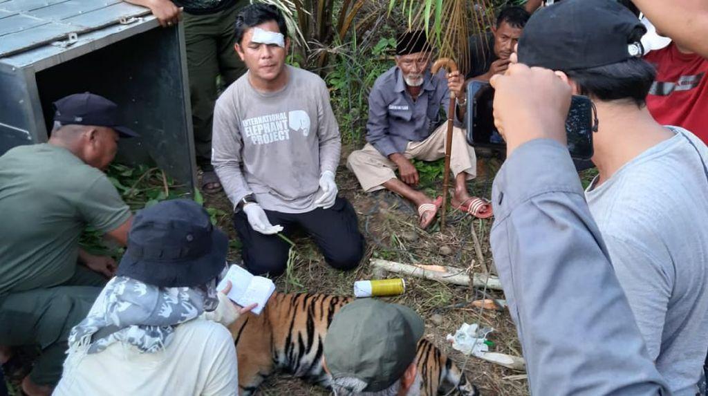 1 Ekor Tertangkap, BKSDA Aceh Pasang Lagi Perangkap untuk Harimau Terluka