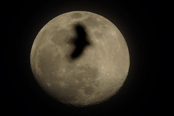 Siluet sebuah burung di supermoon tertangkap kamera di kawasan Kansas, Missouri, Amerika Serikat.