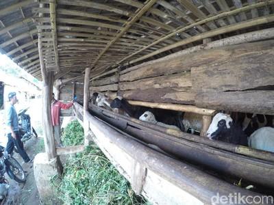 Di Kampung Ini, Jumlah Domba Lebih Banyak dari Manusia