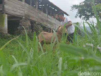 Berwisata di Kampung Domba Cibuntu, Kuningan