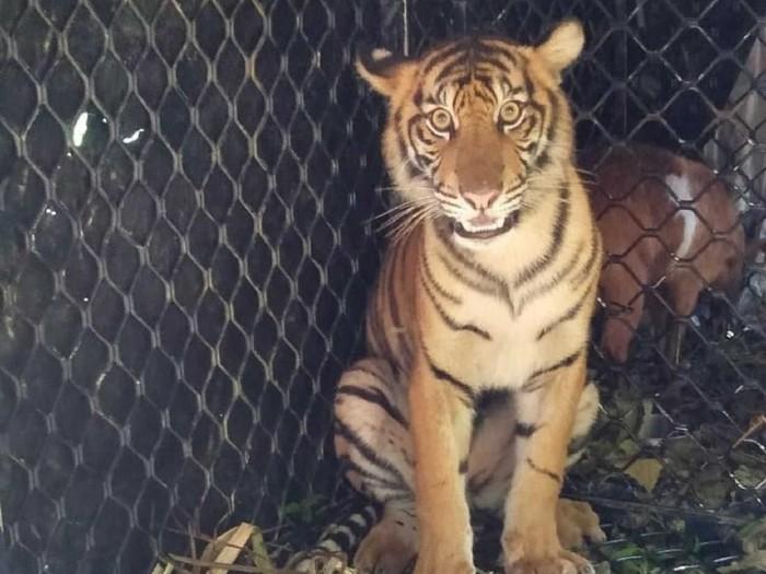 Dara, harimau Sumatera akhirnya dilepas ke TN Gunung Leuser Aceh. (Foto: dok BKSDA Aceh)