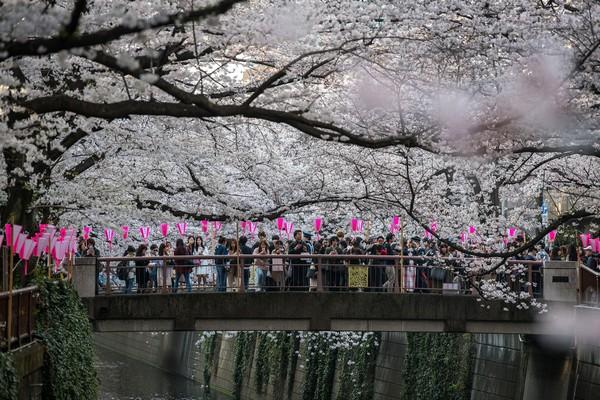 Festival Bunga Sakura yang kerap digelar di Kota Tokyo, Jepang, yang diketahui akan diselenggarakan pada bulan April mendatang pun dibatalkan. Getty Images/Carl Court.