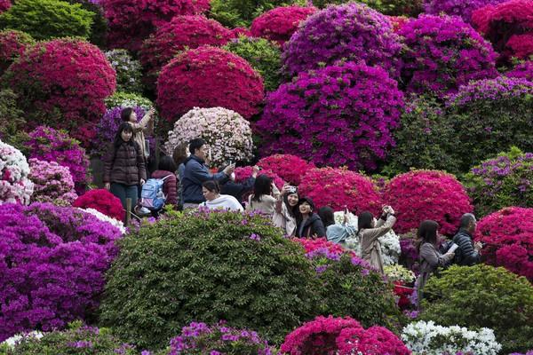 Selain Festival Bunga Sakura di Tokyo, festival lain yang turut batal penyelenggaraannya akibat virus corona adalah Festival Azalea di Okinawa. Getty Images/Tomohiro Ohsumi.
