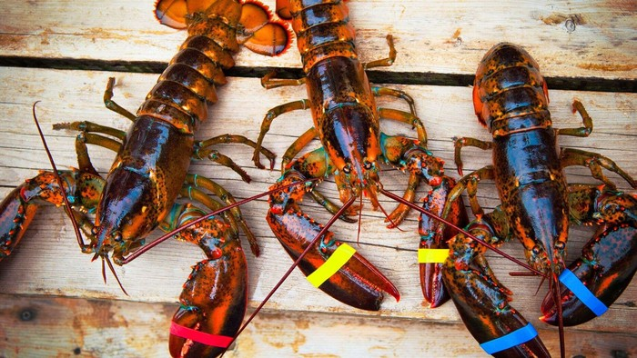 harga lobster turun