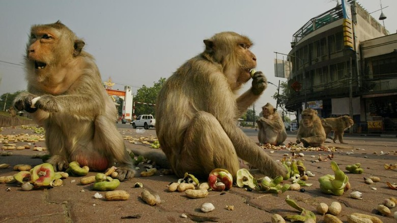 LOBPURI, THAILAND - FEBRUARY 16:  Monkeys eat fruit and peanuts given to them by tourists on the street in downtown Lopuri near the Phra Prang Sam Yot temple in on February 16, 2004, about 160 kilometers north of Bangkok, in Lopburi, Thailand. Hundreds of monkeys live in the monkey temple getting fed by both tourists and locals. (Photo by Paula Bronstein/Getty Images)
