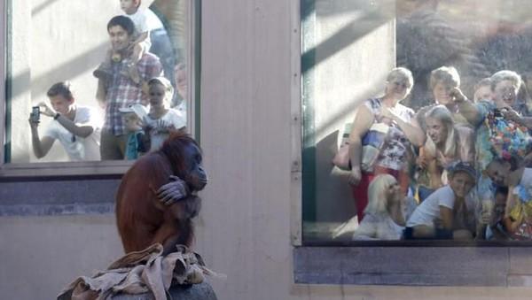 Tak hanya di Indonesia, orang utan masih dipelihara di kebun binatang di seluruh dunia. Seperti orang utan Sumatera yang ada di Kebun Binatang Moskow ini. (Getty Images)