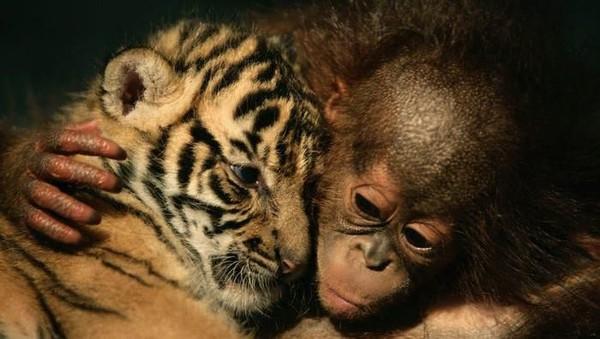Orang utan adalah makhluk yang lembut, terutama saat mereka masih muda. Orang utan betina berumur 5 bulan ini memeluk anak harimau sumatera yang masih berusia 26 hari di Rumah Sakit Hewan Taman Safari Indonesia. (Getty Images)