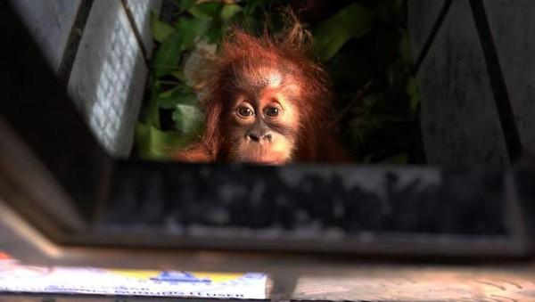 Pada tahun 2013, sebuah laporan menunjukan bahwa orang utan adalah kera besar yang paling banyak diburu. Lebih dari 1000 ekor diburu di antara tahun 2005-2011, hampir dua kali lipat dari jumlah pemburuan simpanse. (Getty Images)