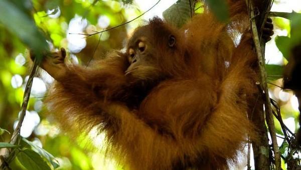 Orang utan menghabiskan keseharian mereka untuk menyendiri di pohon. Hewan-hewan ini sangat bergantung pada lingkungan mereka. (Getty Images)
