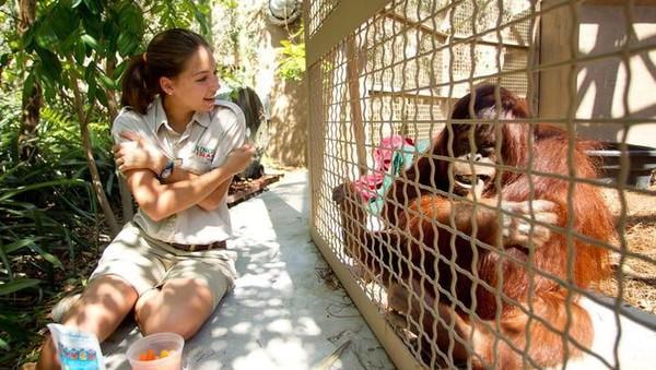 Sebagai hewan yang dikatakan cerdas, orang utan juga bisa diajari bahasa isyarat, seperti orangutan di Jungle Island, Miami. (Getty Images)