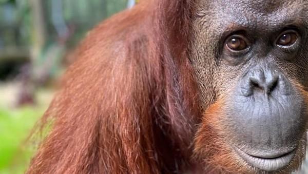 Memiliki mata yang mirip dengan manusia, seorang fotografer yang mendokumentasikan orang utan selama 6 bulan merasakan seperti melihat saudara saat melihat mata orangutan. (Getty Images)