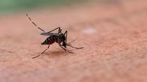 Fakta-fakta Nyamuk Rekayasa Genetika yang Dilepas di Florida