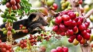Ahli Kopi Ini Sebut 95% Kopi Luwak di Indonesia Palsu, Kok Bisa?