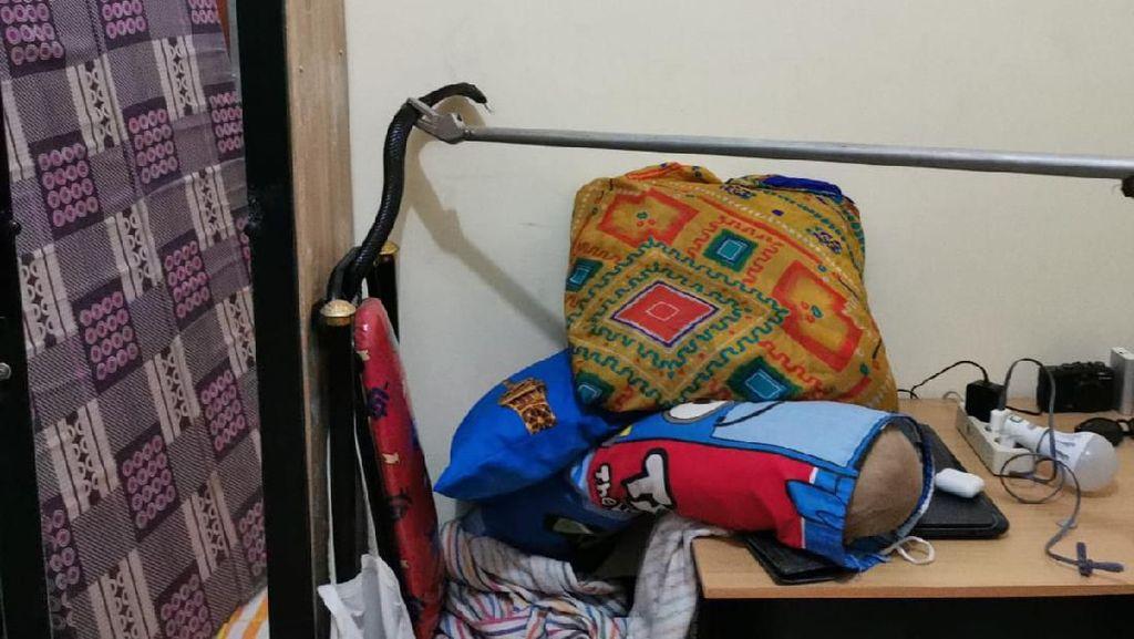 Di Tengah Ancaman Corona, Petugas Damkar Tangkap Kobra di Rumah Warga