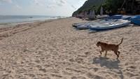 Seekor anjing berjalan di kawasan wisata Pantai Pandawa yang ditutup sementara di Badung, Bali, Sabtu (21/3/2020).