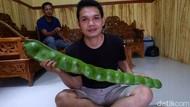 Wow! Ada Petai Segede Gaban di Banjarnegara