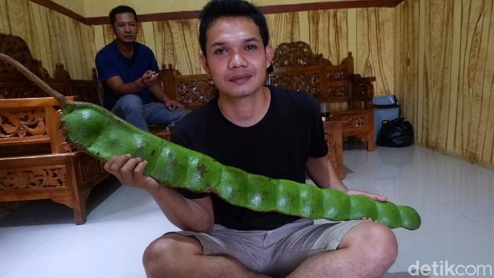 Warga Desa Panawaren, Kecamatan Sigaluh, Banjarnegara, Jawa Tengah, menemukan petai raksasa di tengah hutan lindung. Begini bentuknya.
